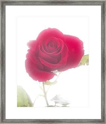Red Rose Isolated On White Fog Framed Print by M K  Miller