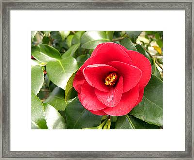 Red Rose Knock Out Framed Print by Sandi OReilly