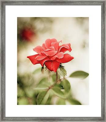 Red Rose Framed Print by Natalia Ganelin