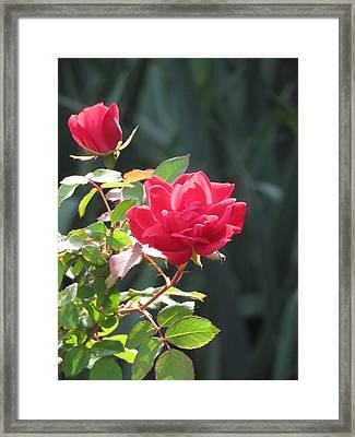 Red Rose Framed Print by Rebecca Overton