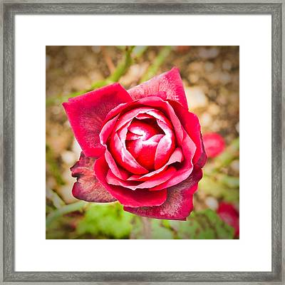 Red Rose Framed Print by Tom Gowanlock