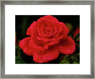 Red Rose With Rain Framed Print by John Brink