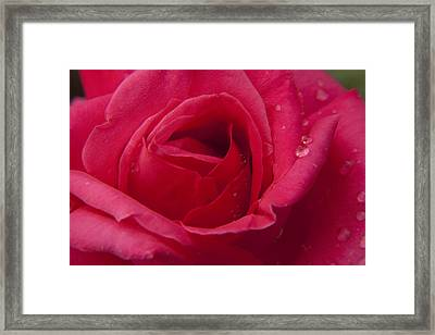 Framed Print featuring the photograph Red Rose With Rain Tears by Darleen Stry