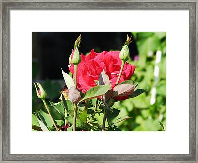 Red Roses Framed Print by LaDonna Vinson