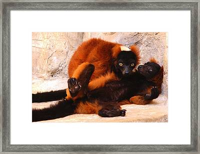 Red Ruffed Lemurs Grooming Framed Print by Roy Williams