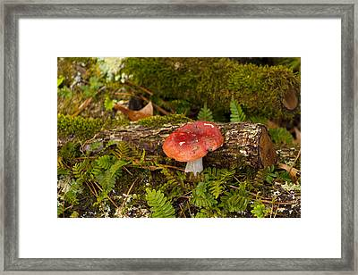 Red Russulaceae Mushroom And Forest Mosses Framed Print by Kathy Clark