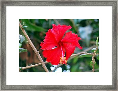 Red Shoe Flower Framed Print by Denis Shah