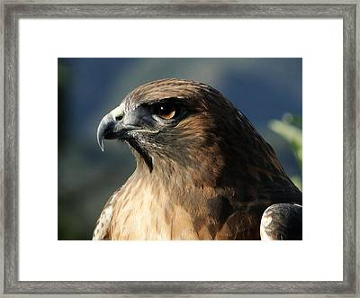 Red Shoulder Hawk Framed Print by Liz Vernand