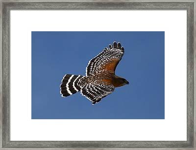 Red-shoulder Hawk Framed Print