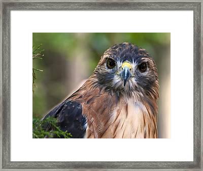 Florida Red Shoulder Hawk  Framed Print