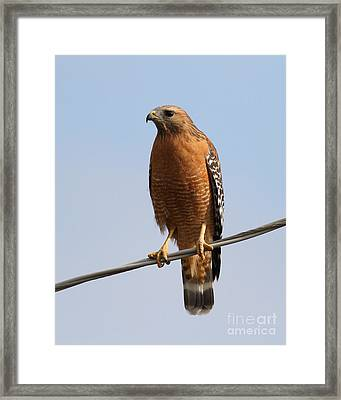 Red-shouldered Hawk . 7d10246 Framed Print by Wingsdomain Art and Photography