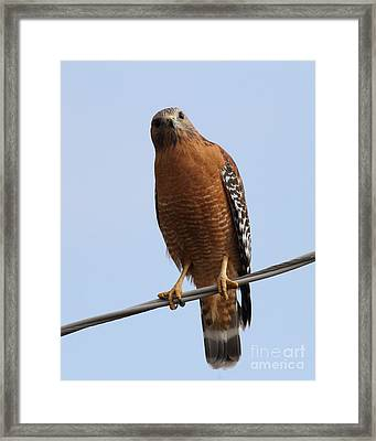 Red-shouldered Hawk . 7d10254 Framed Print by Wingsdomain Art and Photography