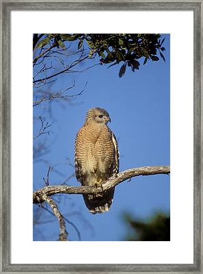 Red-shouldered Hawk Buteo Lineatus Framed Print by Konrad Wothe