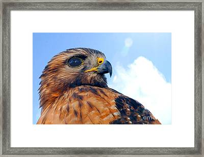 Framed Print featuring the photograph Red Shouldered Hawk Portrait by Dan Friend