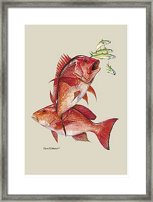 Red Snapper Framed Print by Kevin Brant