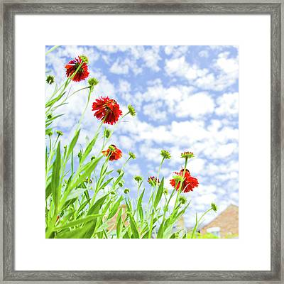 Red Sneezeweed Flowers Framed Print by Sophie Goldsworthy