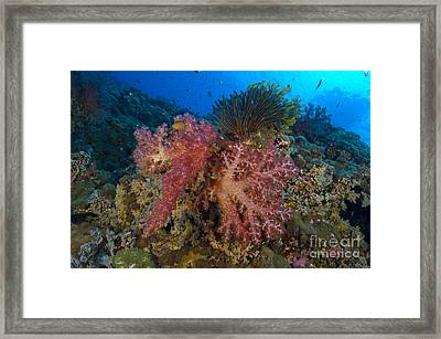 Red Soft Coral With Crinoid, Papua New Framed Print by Steve Jones