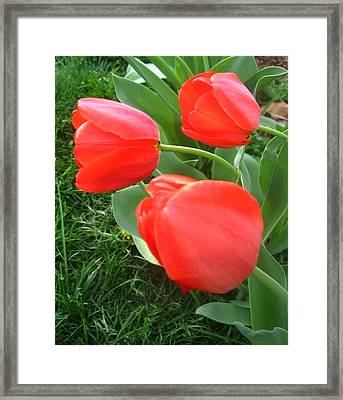 Framed Print featuring the photograph Red Spring Tulips by Deb Martin-Webster