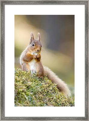 Red Squirrel Feeding Framed Print by Duncan Shaw