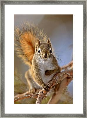 Red Squirrel In Winter Canada Framed Print by Mark Duffy