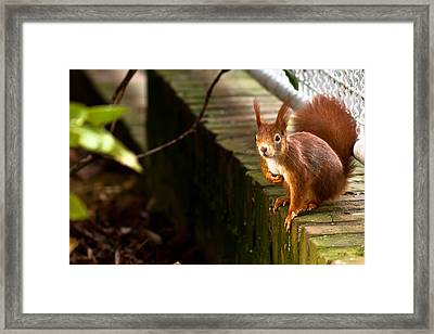 Red Squirrel Framed Print by Justin Albrecht