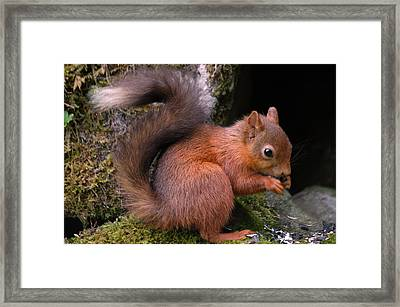 Framed Print featuring the photograph Red Squirrel by Lynn Bolt