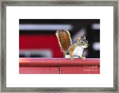 Red Squirrel On Railing Framed Print by Elena Elisseeva