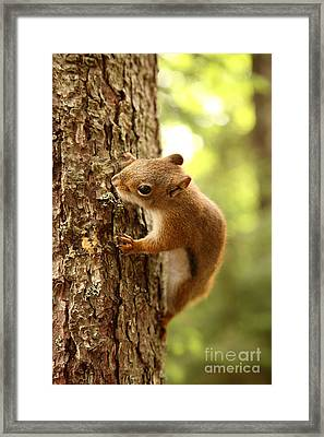 Red Squirrel Framed Print by Ted Kinsman