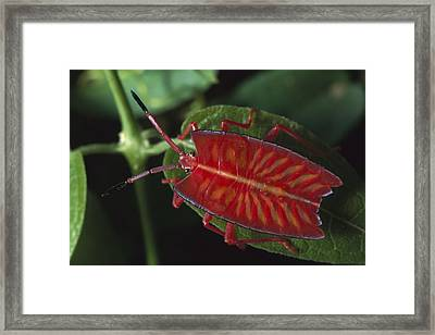 Red Stink Bug Pycanum Rubeus, Northeast Framed Print by Gerry Ellis