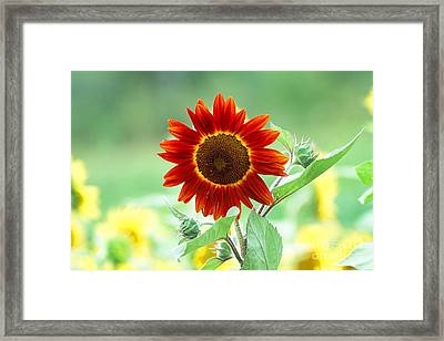 Red Sunflower 2 Framed Print by Edward Sobuta
