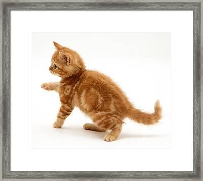 Red Tabby Kitten Framed Print by Jane Burton