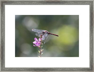 Red Tail Dragonfly Framed Print by Michel DesRoches