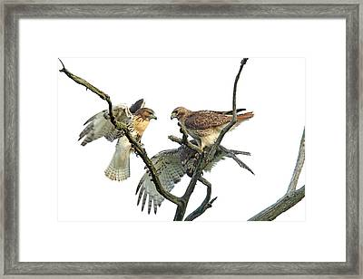 Red-tail Family Framed Print by Denny Bingaman