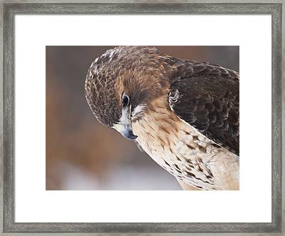 Red Tail Hawk Framed Print by Cindy Lindow