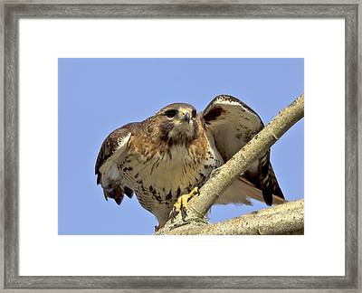 Red Tail Hawk Closeup Framed Print by Ron Sgrignuoli
