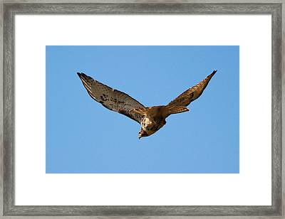Red Tail Hawk Framed Print by DK Hawk