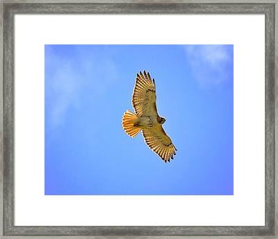 Framed Print featuring the photograph Red-tail Hawk by Joe Urbz