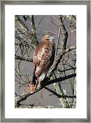 Framed Print featuring the photograph Red Tail Hawk by Laurinda Bowling