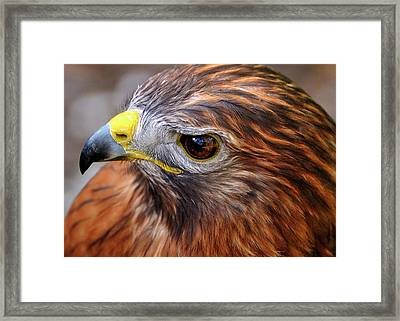 Red-tailed Hawk Close Up Framed Print