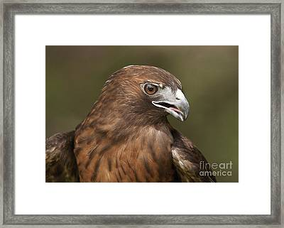 Framed Print featuring the photograph Red-tailed Hawk by Doug Herr