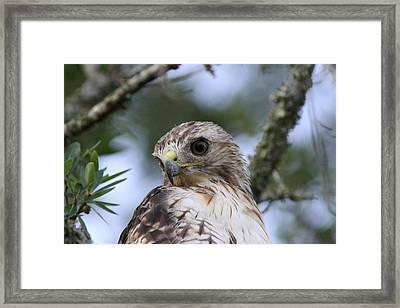 Red-tailed Hawk Has Superior Vision Framed Print by Travis Truelove