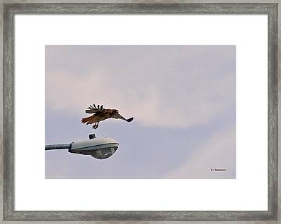 Red-tailed Hawk In Flight Framed Print