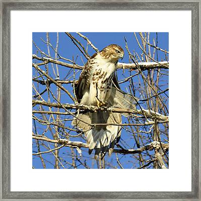 Red Tailed Hawk In Winter Framed Print by Rodney Campbell