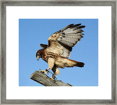 Red Tailed Hawk Framed Print by Paulette Thomas