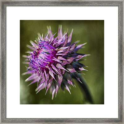 Red Thistle Pland Framed Print