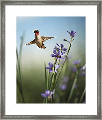 Red Throat Framed Print by Jody Trappe Photography