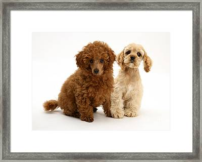 Red Toy Poodle And Cocker Spaniel Framed Print
