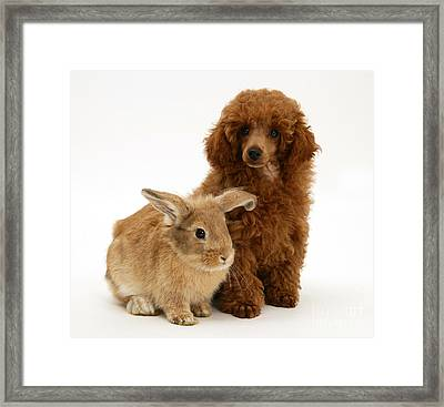 Red Toy Poodle Pup With Lionhead-cross Framed Print by Mark Taylor