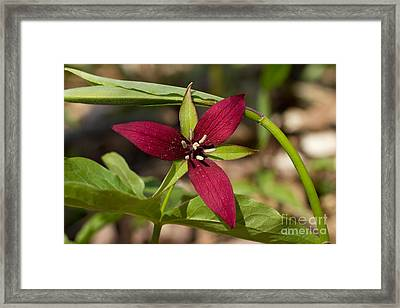 Framed Print featuring the photograph Red Trillium by Les Palenik