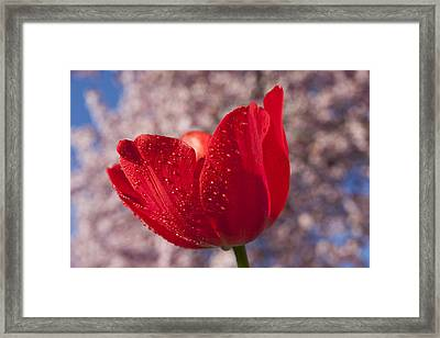 Red Tulip And Cherry Tree Framed Print by Garry Gay